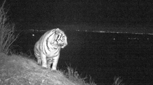 Wild  leopard &  tiger showed up in Vladivostok area